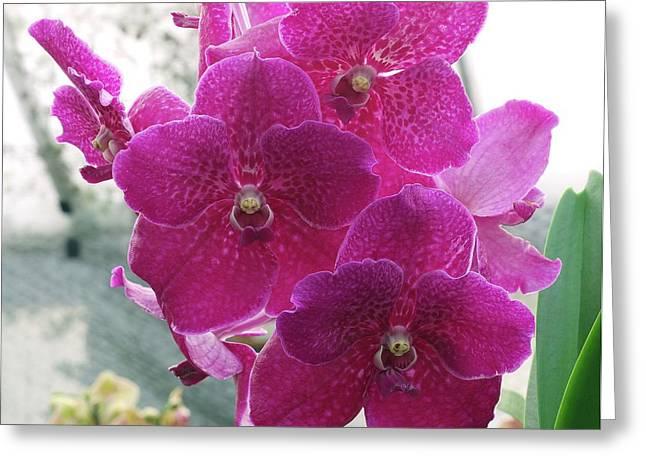 Vanda Orchid (vanda 'fuchs Fuchsia') Greeting Card