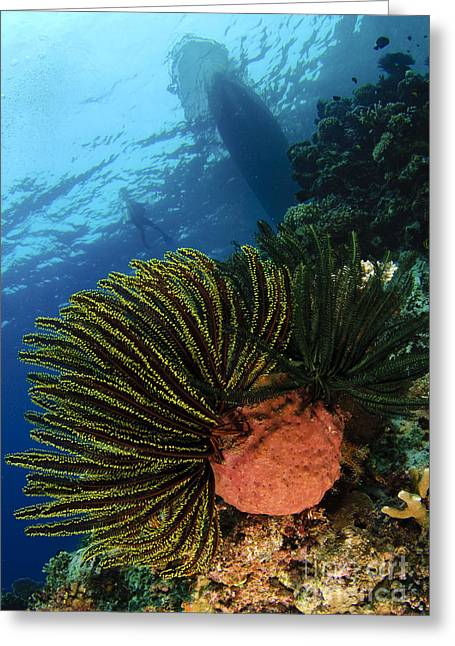 Variable Bushy Feather Star, Gorontalo Greeting Card by Steve Jones