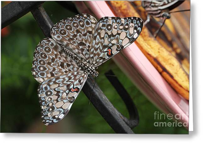 Greeting Card featuring the photograph Variable Craker Butterfly #2 by Judy Whitton