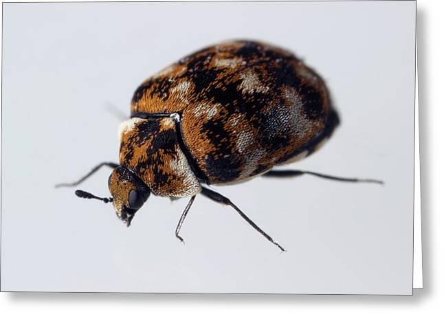 Varied Carpet Beetle Greeting Card by Sinclair Stammers