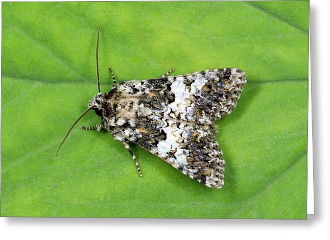 Varied Coronet Moth Greeting Card