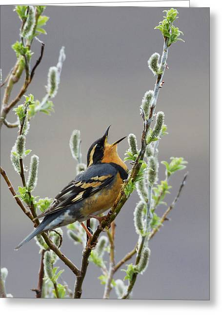 Varied Thrush Singing Greeting Card