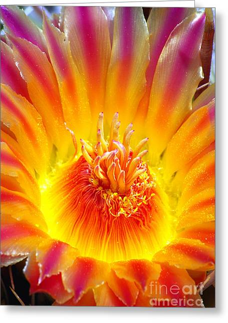 Variegated Barrel Cactus Flower Greeting Card by Douglas Taylor