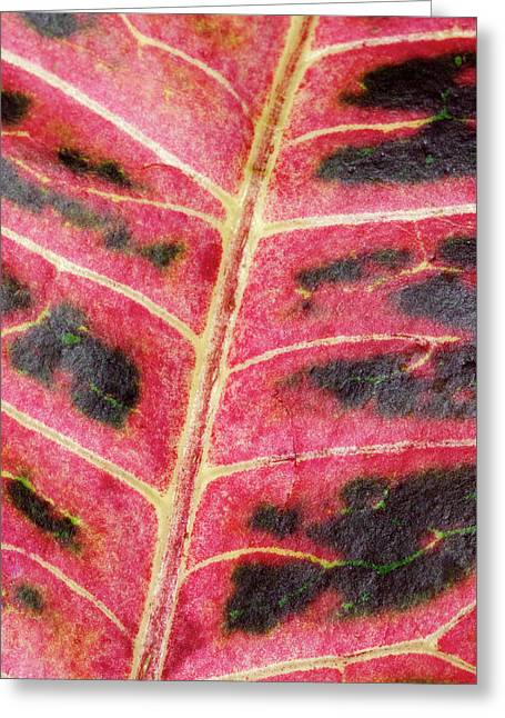 Variegated Croton Leaf Abstract Greeting Card