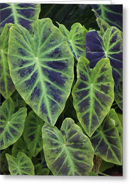 Variegated Elephant Ears Greeting Card by Suzanne Gaff