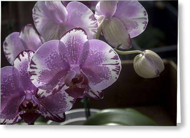 Variegated Fuscia And White Orchid Greeting Card by Lynn Palmer
