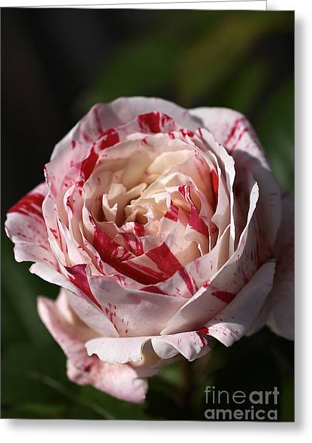 Greeting Card featuring the photograph Variegated Rose by Joy Watson