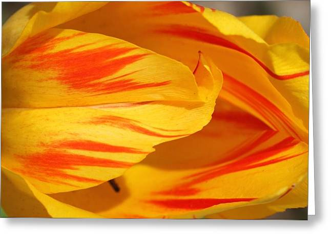 Variegated Tulip 2 Greeting Card by  Andrea Lazar