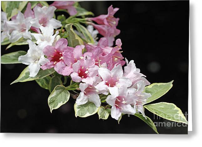 Variegated Weigela Greeting Card by Denise Pohl