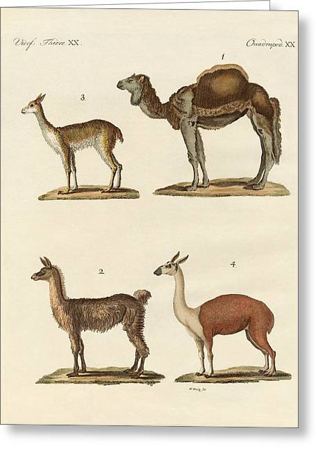 Various Camels Greeting Card by Splendid Art Prints