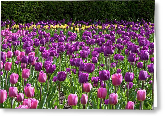 Various Tulip Flowers In A Garden Greeting Card by Panoramic Images