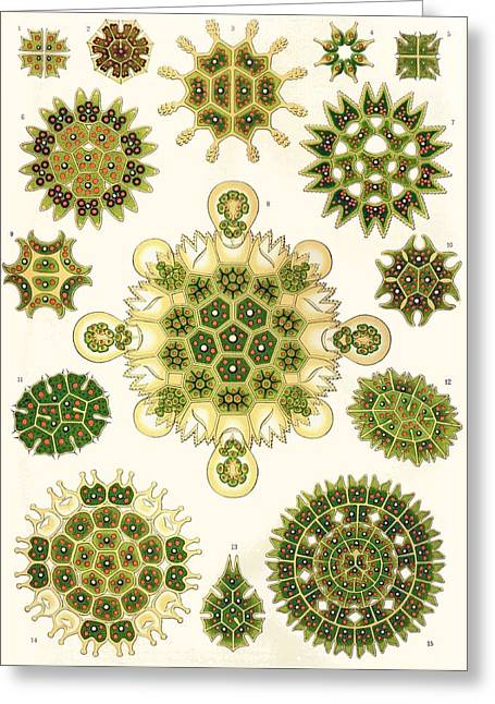 Varities Of Pediastrum From Kunstformen Der Natur Greeting Card by Ernst Haeckel