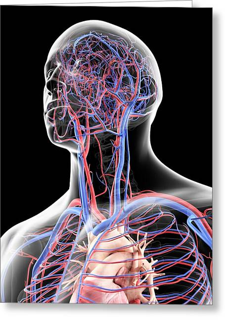 Vascular System In Head Greeting Card by Sciepro