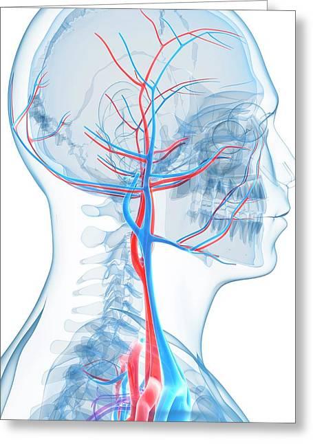 Vascular System Of The Head Greeting Card by Sebastian Kaulitzki