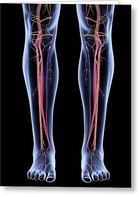 Vascular System Of The Legs Greeting Card by Alfred Pasieka