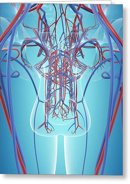 Vascular System Of The Male Pelvis Greeting Card by Sciepro
