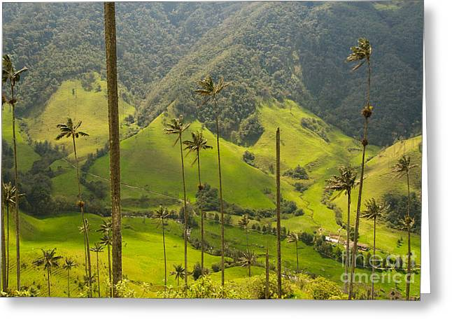 Vax Palm Trees Of Cocora Valley  Greeting Card