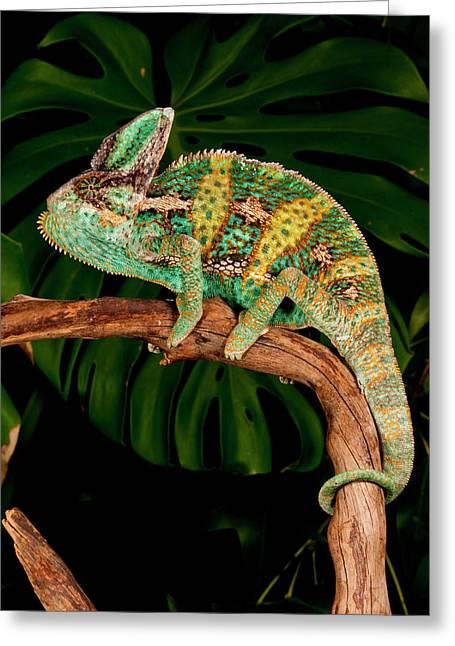 Veiled Chameleon, Chamaeleo Greeting Card