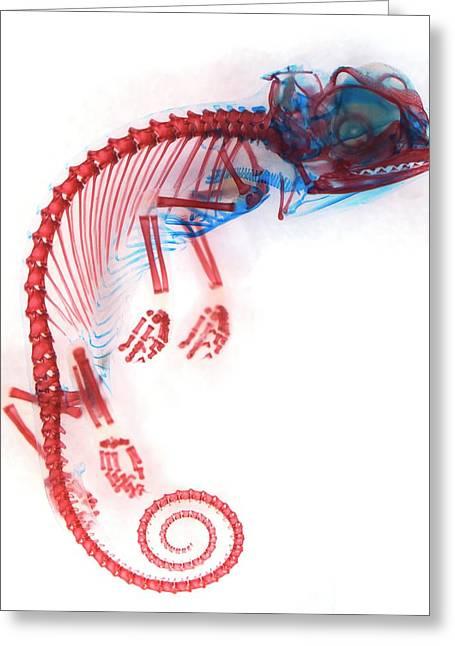 Veiled Chameleon Embryo Skeleton Greeting Card