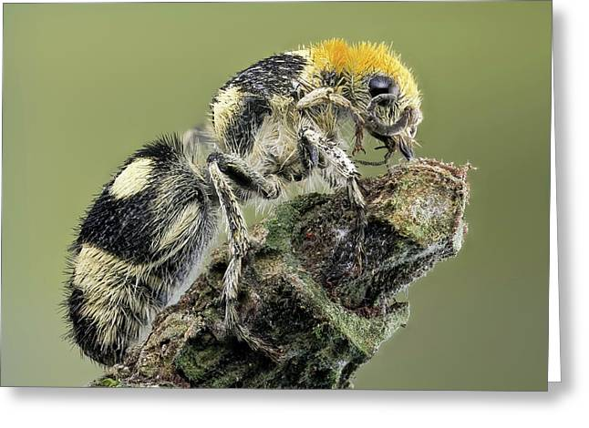Velvet Ant Greeting Card