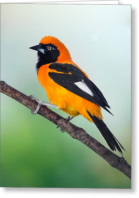 Venezuelan Troupial Icterus Icterus Greeting Card by Panoramic Images
