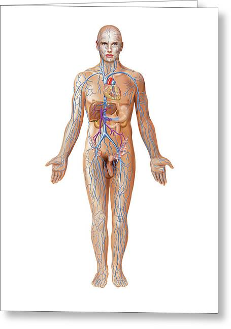 Venous System Greeting Card