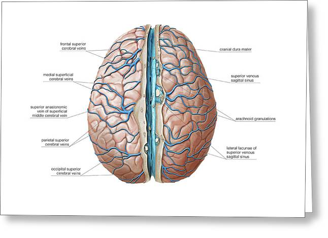 Venous System Of The Brain Greeting Card