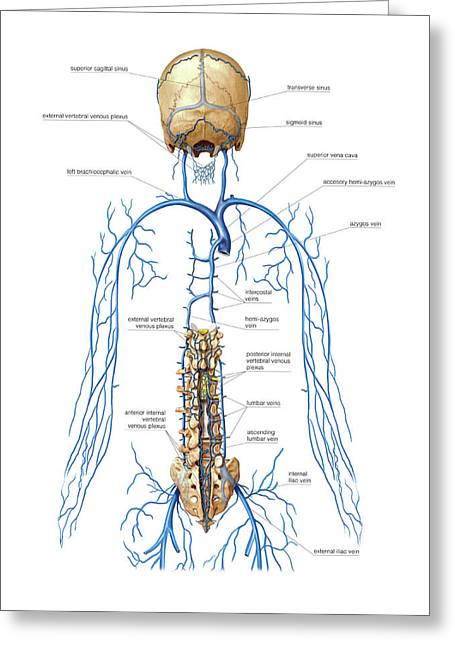 Venous System Of Vertebral Venous Plexus Greeting Card