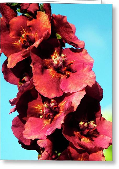 Verbascum 'cherry Helen' Flowers Greeting Card by Ian Gowland
