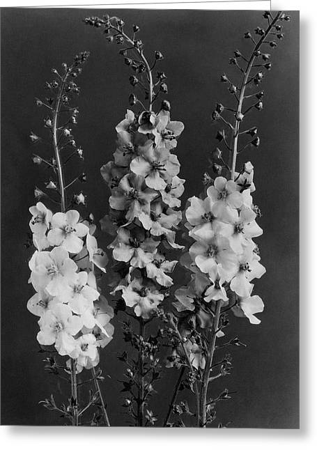 Verbascum Phoeniceum Flowers Greeting Card