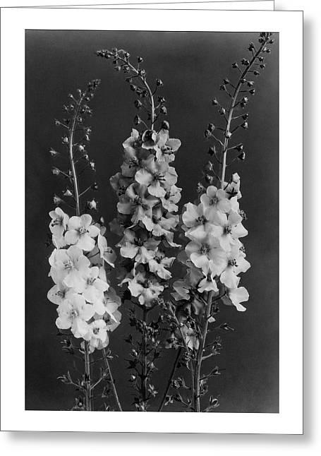 Verbascum Phoeniceum Flowers Greeting Card