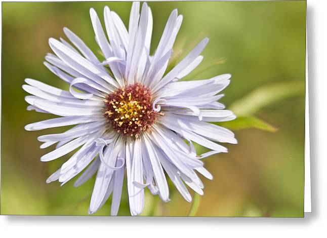 Vermont Aster Greeting Card