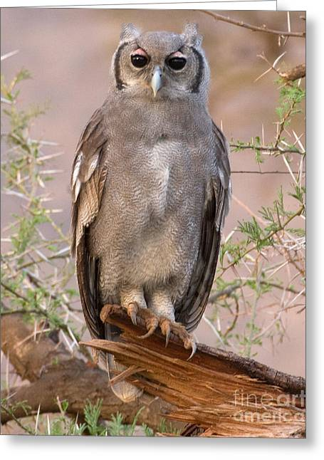 Greeting Card featuring the photograph Verreaux Eagle-owl by Chris Scroggins