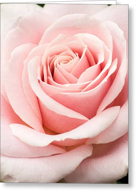 Vertical Pink Rose Greeting Card