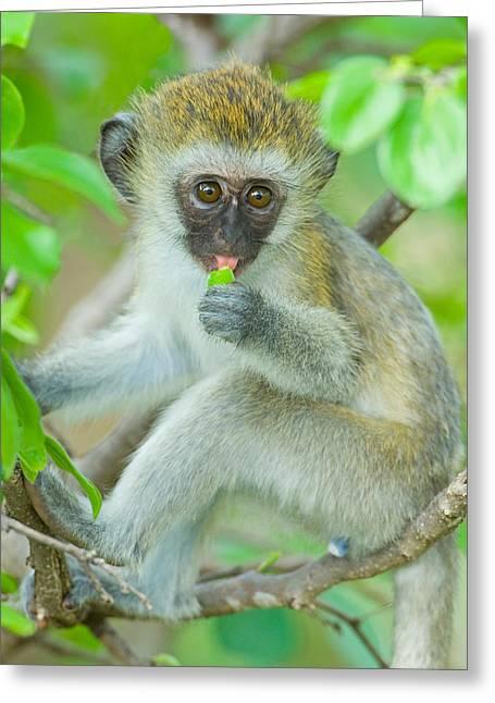 Vervet Monkey Sitting On A Branch Greeting Card