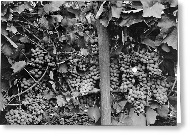 Very Robust Grape Crop Greeting Card