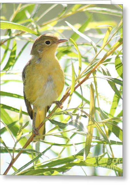 Greeting Card featuring the photograph Very Yellow Warbler by Anita Oakley