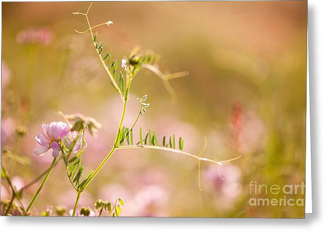 tendrils of Vicia or Vetch and pink Clover  Greeting Card