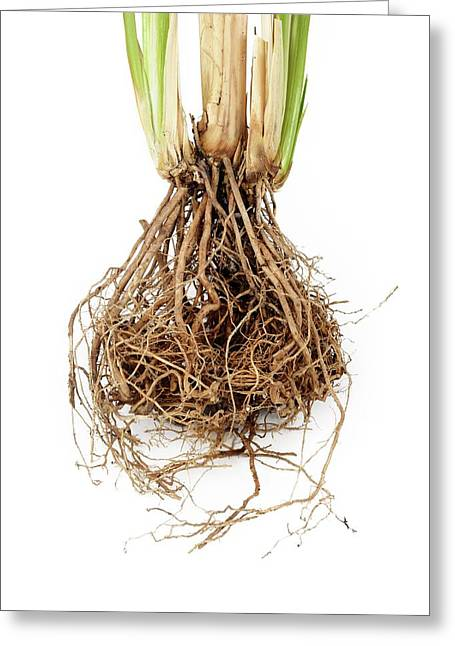 Vetiver Grass Roots Greeting Card by Cordelia Molloy