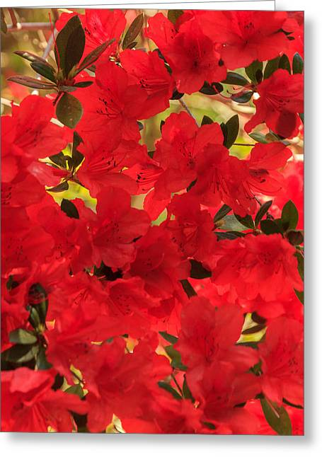 Vibrant Azalea Greeting Card
