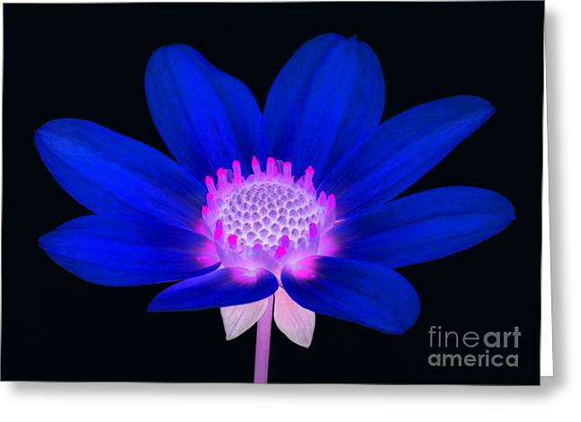 Vibrant Blue Single Dahlia With Pink Centre On Black. Greeting Card by Rosemary Calvert
