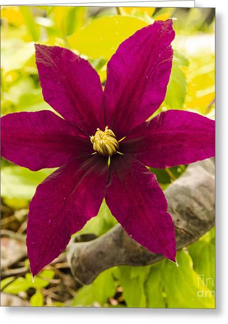 Vibrant Clematis Niobe In Late Spring Greeting Card by Deborah Smolinske