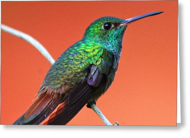 Vibrant Hummingbird Greeting Card by Nathan Miller
