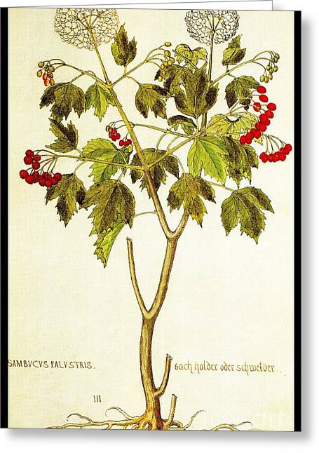 Viburnum Opulus Greeting Card by Rose Santuci-Sofranko