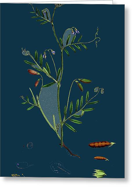 Vicia Tetrasperma Four-seeded Slender Tare Greeting Card