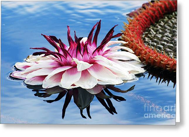 Victoria Amazonica Flower Greeting Card