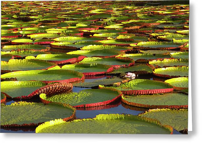Victoria Amazonica Lily Pads Greeting Card by Keren Su