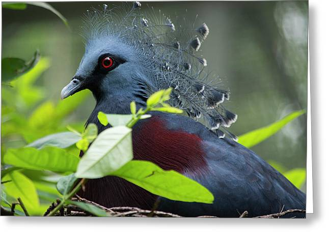 Victoria Crowed-pigeon (goura Victoria Greeting Card by Cindy Miller Hopkins