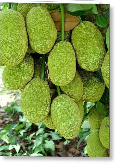 Vietnam, Cu Chi Ripe Jack Fruit On Tree Greeting Card by Cindy Miller Hopkins