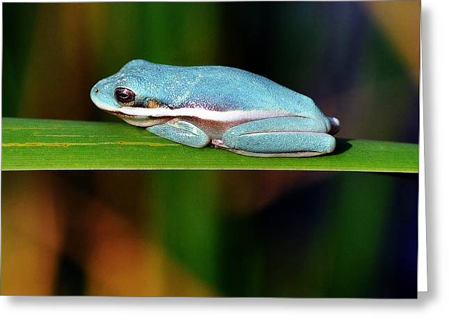Vietnamese Blue Tree Frog Greeting Card by Davids Digits